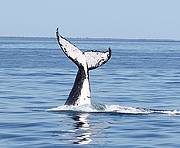 Whale named Freedom in 2012 research